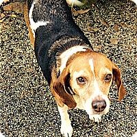 Beagle Dog for adoption in Houston, Texas - Matilda
