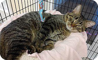Domestic Shorthair Cat for adoption in Cloquet, Minnesota - Magnum