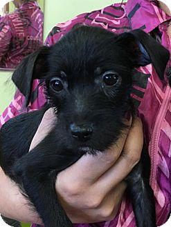 Miniature Pinscher/Terrier (Unknown Type, Medium) Mix Puppy for adoption in Lakewood, California - MINDY
