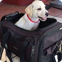 Adopt A Pet :: Felix - Sudbury, MA