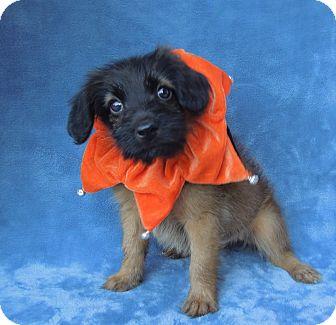 Shepherd (Unknown Type)/Labrador Retriever Mix Puppy for adoption in Charlotte, North Carolina - Camilla