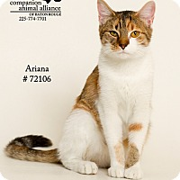 Domestic Shorthair Cat for adoption in Baton Rouge, Louisiana - Ariana