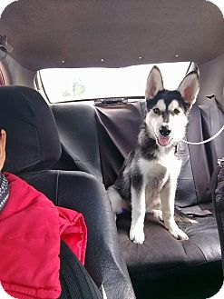 Husky Mix Puppy for adoption in LAKEWOOD, California - Jimmy