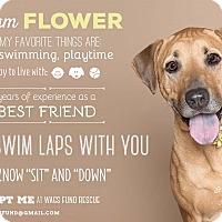 Adopt A Pet :: Flower - Houston, TX