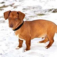 Adopt A Pet :: PUPPY LYMAN - Washington, DC