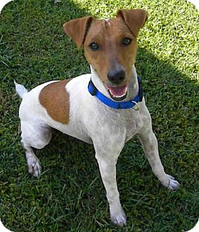 Jack Russell Terrier Dog for adoption in Phoenix, Arizona - COOPER