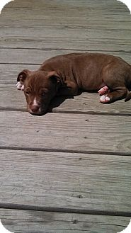 Pit Bull Terrier/Labrador Retriever Mix Puppy for adoption in Sinking Spring, Pennsylvania - Si