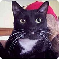 Domestic Shorthair Cat for adoption in East Stroudsburg, Pennsylvania - Spot II