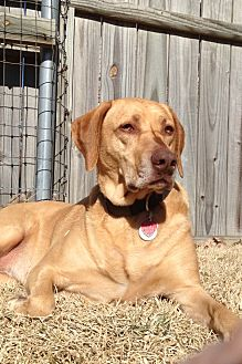 Rhodesian Ridgeback Mix Dog for adoption in Carrollton, Texas - DIVA