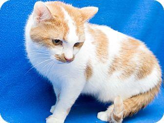 Domestic Shorthair Cat for adoption in Warren, Michigan - Angel aka Poncho (declawed)