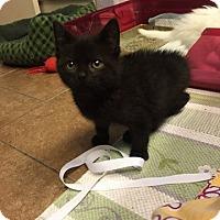 Adopt A Pet :: Zeus - Bentonville, AR