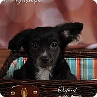 Adopt A Pet :: Oxford - Henderson, NV