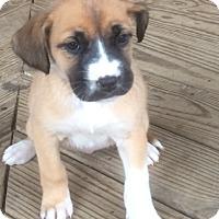 Adopt A Pet :: Princess Leia - Bedminster, NJ