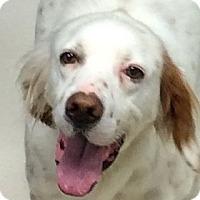 Adopt A Pet :: CHARLIE Brown - Pine Grove, PA