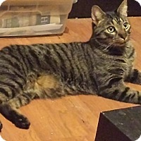 Domestic Shorthair Cat for adoption in Tampa, Florida - Liam
