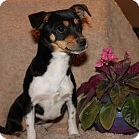Adopt A Pet :: Broccoli - Spring Valley, NY