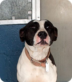 American Bulldog/Australian Shepherd Mix Dog for adoption in Oxford, North Carolina - Lady