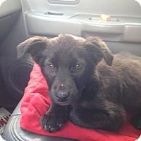 Adopt A Pet :: Bear - Alpharetta, GA