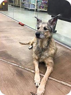 Deerhound/Schnauzer (Giant) Mix Dog for adoption in Cleveland, Ohio - Cassie