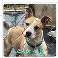 Adopt A Pet :: Stormy - Phoenxville, PA