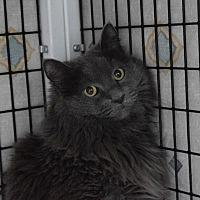 Adopt A Pet :: Nouri - Denver, CO