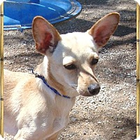 Adopt A Pet :: Cinda - Las Vegas, NV