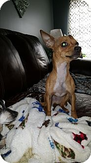 Dachshund/Chihuahua Mix Dog for adoption in Arlington, Tennessee - Skipper