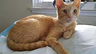 Domestic Shorthair Cat for adoption in Philadelphia, Pennsylvania - Louie