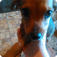 Chihuahua/Dachshund Mix Puppy for adoption in Kemp, Texas - squeak