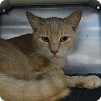 Domestic Shorthair Cat for adoption in Elyria, Ohio - Palmer