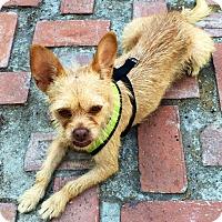 Adopt A Pet :: Suki - Santa Monica, CA