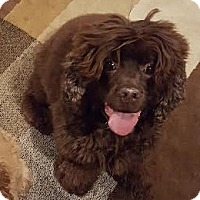 Cocker Spaniel Dog for adoption in Detroit, Michigan - Koko