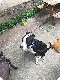 American Pit Bull Terrier Mix Dog for adoption in Kill Devil Hills, North Carolina - Rocky