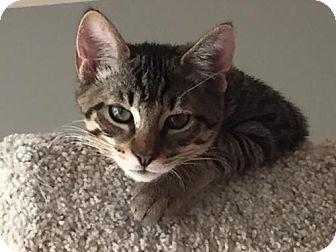 Domestic Shorthair Cat for adoption in Glendale, Arizona - Keanu