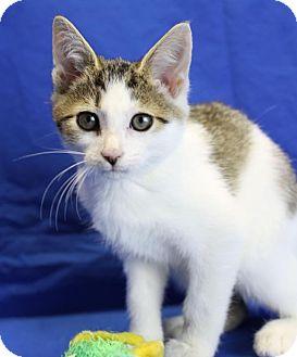Domestic Shorthair Kitten for adoption in Winston-Salem, North Carolina - Travis