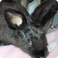 Flemish Giant Mix for adoption in Waupaca, Wisconsin - Juliet