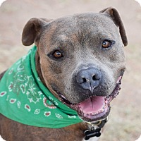 Pit Bull Terrier Mix Dog for adoption in Gilbert, Arizona - Sergeant Major
