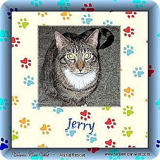 Domestic Shorthair Cat for adoption in Akron, Ohio - Jerry