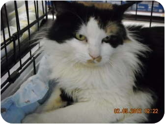 Calico Cat for adoption in Riverside, Rhode Island - Mr. Calico!