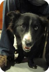 Collie/Corgi Mix Dog for adoption in Minneapolis, Minnesota - Bear