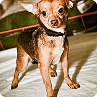 Adopt A Pet :: Bat-Adoption pending - Bridgeton, MO
