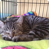 Adopt A Pet :: Valentino - Island Park, NY