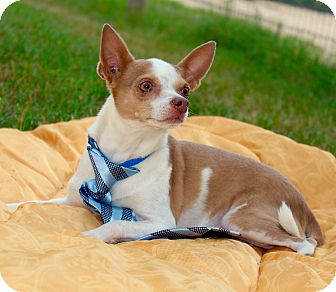 chihuahua rescue ct danbury ct chihuahua mix meet butterscotch a dog for 2033