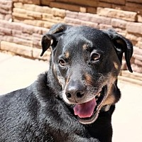 Adopt A Pet :: DUKE 7 - Chandler, AZ