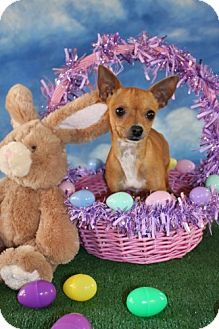 Chihuahua Dog for adoption in Dallas, Texas - Lucky