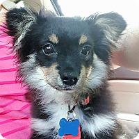 Adopt A Pet :: Noir - conroe, TX