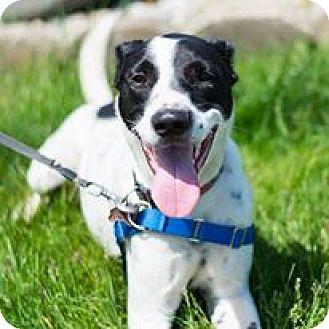 Pointer Mix Dog for adoption in Mishawaka, Indiana - Stewart