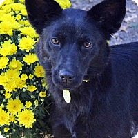 Adopt A Pet :: CHELSI - Westminster, CO