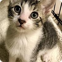 Adopt A Pet :: Benny - Island Park, NY