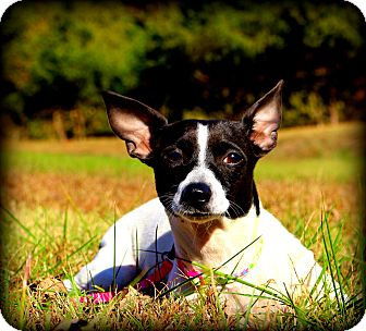 Feist/Rat Terrier Mix Dog for adoption in Glastonbury, Connecticut - Madeline